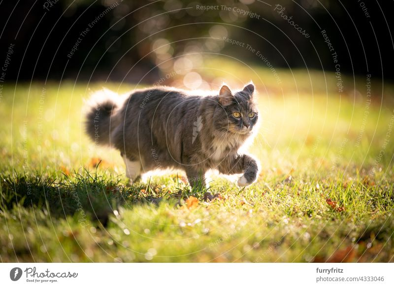 gray maine coon cat on the prowl walking on sunny meadow outdoors free roaming nature garden front or backyard green lawn grass sunlight backlight on the move