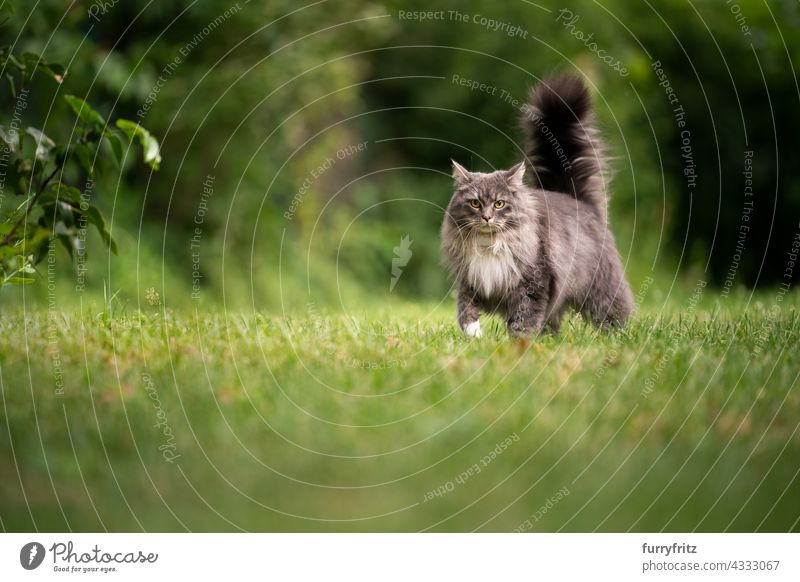 maine coon cat with fluffy tail outdoors in green back yard free roaming nature garden front or backyard lawn meadow grass longhair cat blue tabby gray feline