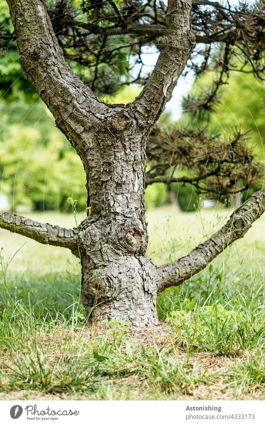 Character Trunk Tree trunk branches twigs Coniferous trees bark gnarled Gray Brown Nature pretty Grass Ground Needle Under Small detail Forest Landscape