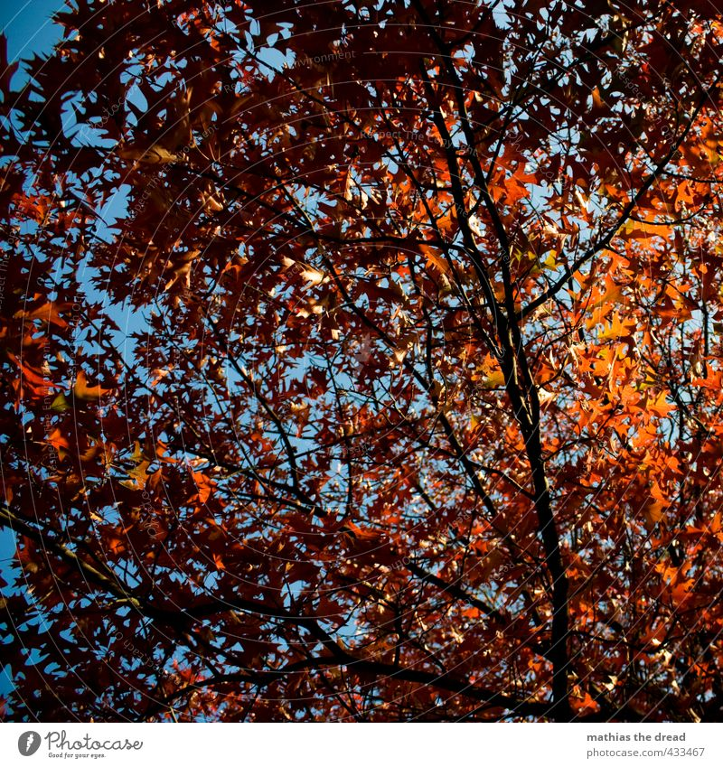 leaf canopy Nature Sky Autumn Beautiful weather Tree Leaf Esthetic Branch Leaf canopy Red Autumnal Colouring Colour photo Multicoloured Exterior shot Deserted