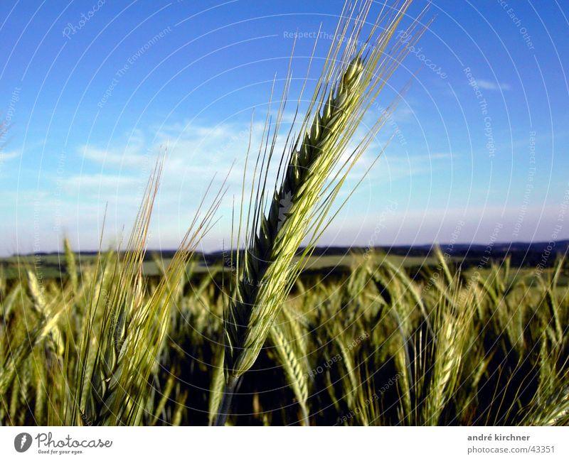 Sky Summer Field Grain Hill Ear of corn Rye