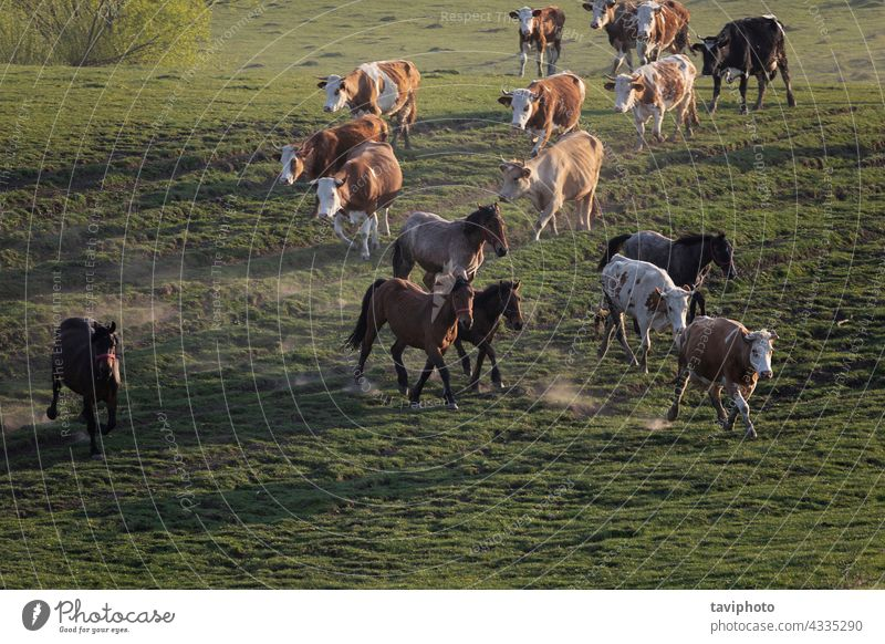 cattle on the run horse cow herd pasture farm rural livestock mammal field farming nature outdoor summer breed group dairy cattle farmland beautiful cows