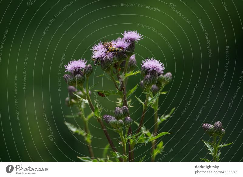 Field thistle with soft bokeh in form of dark green background with insects, Cirsium arvense Leaf naturally cirsium Thistle Wild Macro (Extreme close-up) Meadow