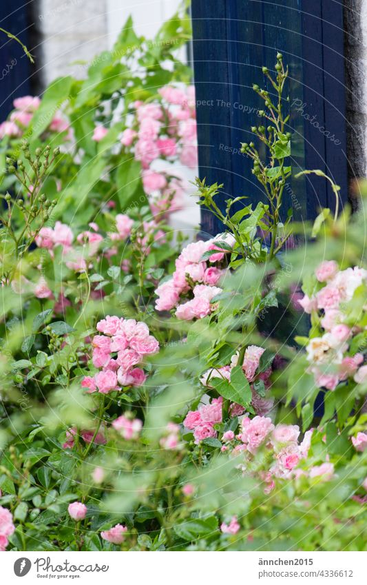 small pink roses in front of a blue door Nature Pink Blue Green flowers blossoms Spring naturally Garden Flower Summer Close-up Plant Blossom Colour photo