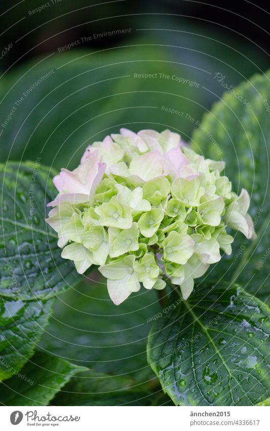 a bright hydrangea flower with green wet leaves Hydrangea Summer Rain Blossom Flower Nature Blossoming raindrops Green Bright Garden Plant Colour photo Close-up