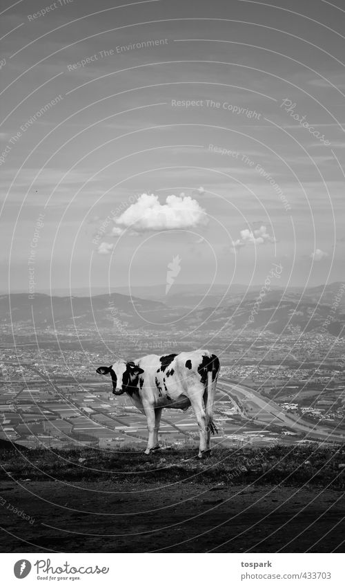 Cow with a view Mountain Hiking Environment Nature Landscape Clouds Summer Beautiful weather Alps Peak Switzerland Appenzell 1 Animal Vacation & Travel Stand