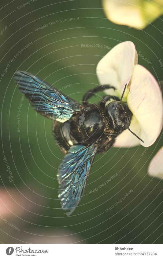 A wood bee making itself comfortable on a flower wooden bee Bee Nature Animal Insect Macro (Extreme close-up) Close-up Flower Blossom Plant Summer Exterior shot