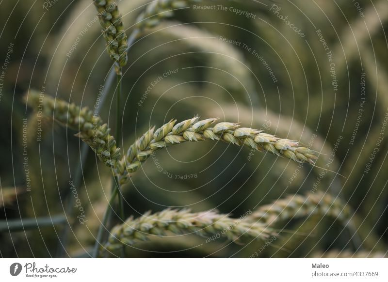 Background from green ears of wheat field agriculture background grain harvest nature summer farm agricultural food grow natural plant rural season seed bread