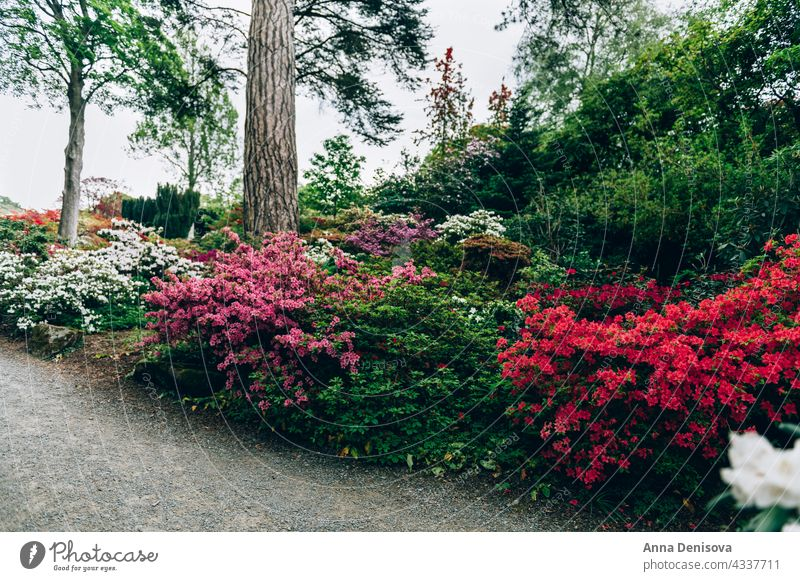Beautiful Garden with blooming trees during spring time park garden wales laburnum arch springtime rhododendron plant flower cunningham nature rhododendrons