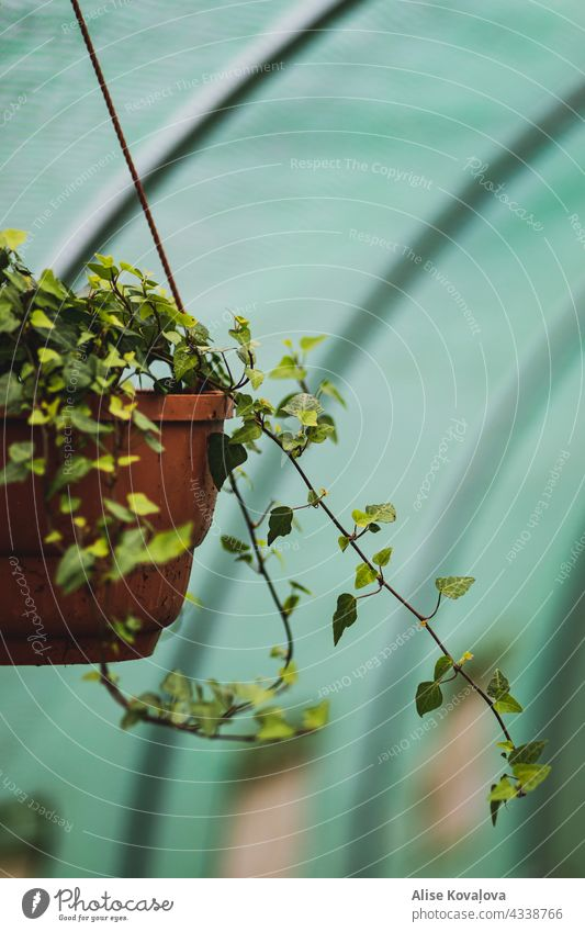 Ivy in a pot Nature plants wax Green flora Summer Growth Botany naturally Environment Leaf
