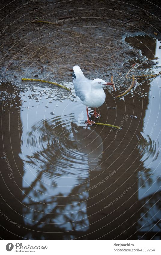 A seagull stands in a puddle of water with water rings starting from it. Also a reflection, with the tree standing behind it. Bird Black-headed gull Animal