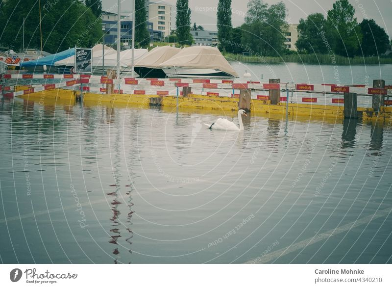 Swan swims in a parking lot after high water Flood Parking lot Animal Exterior shot Colour photo Water White Lake Day Deserted Reflection Nature Bird Waves