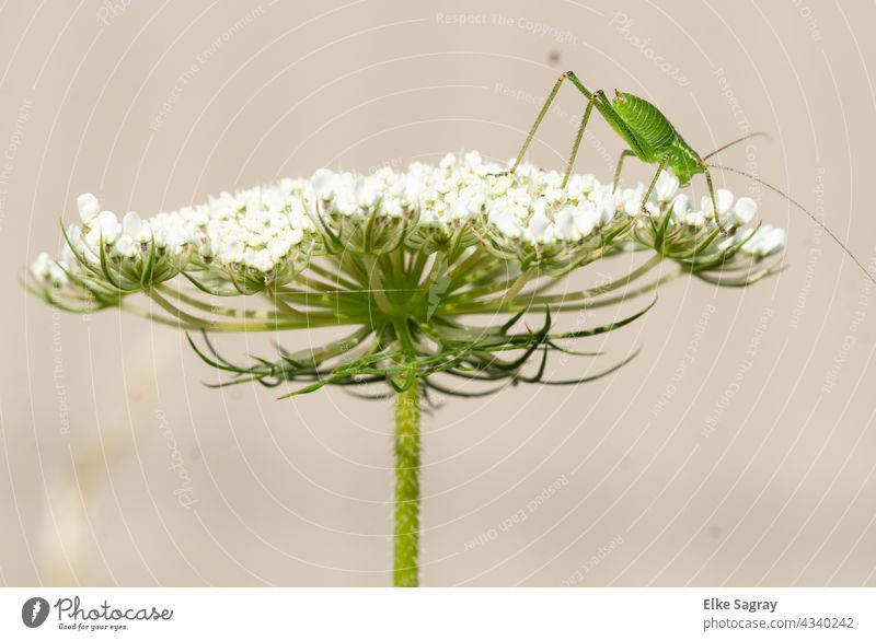 Grasshopper on wild carrot blossom shortly before take off Blossom Insect grasshopper Nature Green Exterior shot Colour photo Macro (Extreme close-up)