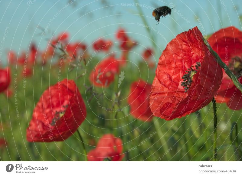 Flower Poppy Airplane landing Bumble bee