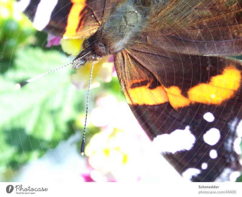 admiral Butterfly Insect Red admiral Summer Macro (Extreme close-up)