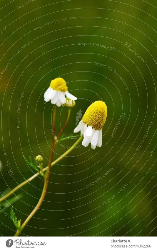 chamomile Chamomile Camomile blossom Plant Nature Flower Blossom Summer Day Exterior shot Colour photo Blossoming Deserted Yellow Green White Fragrance