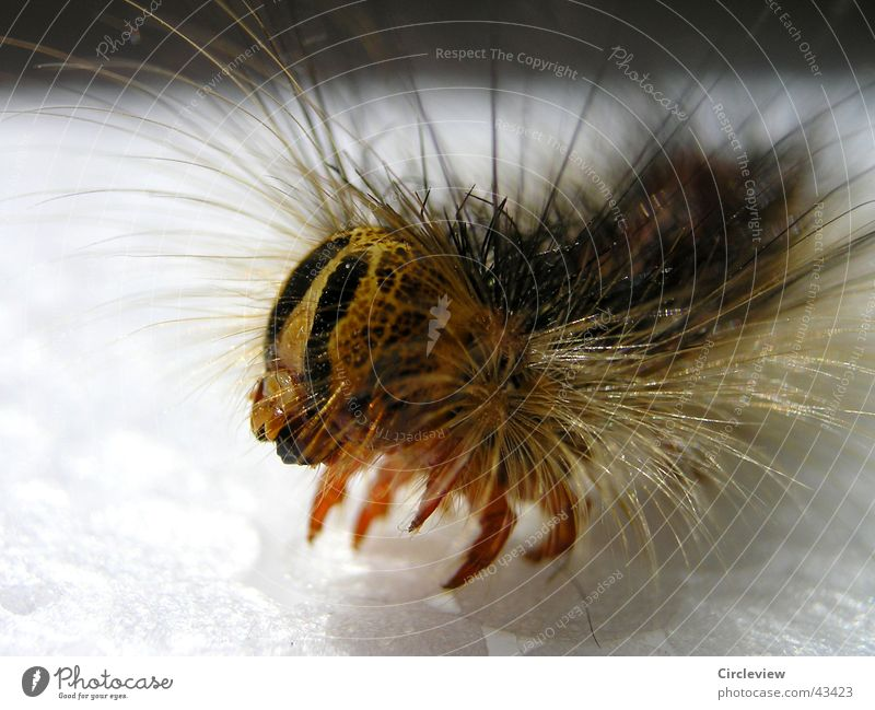 Animal Bright Insect Caterpillar Moth Color gradient Gypsy moth