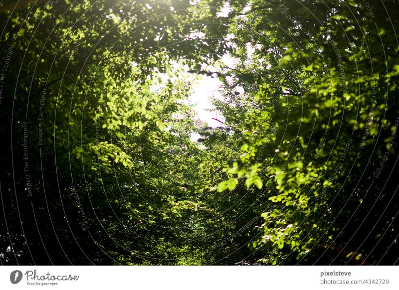 View through the canopy in a deciduous forest in summer Tree Forest trees Climate change Environment leaves Nature Leaf canopy trunk tree trunks Oxygen Plant