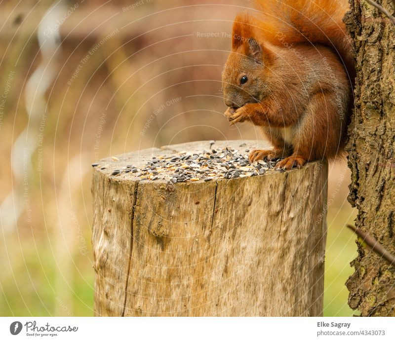 Close up of a sitting reddish brown squirrel leaning against a tree trunk Squirrel To feed Animal Nature sciurus vulgaris Tree Exterior shot Colour photo