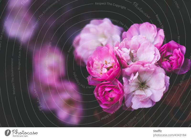 fragrant rosebush rosesbush rose bush romantic Romance Rose scent rose petals Shrub Roses pink roses flowering roses fragrant roses Garden Roses romantic roses
