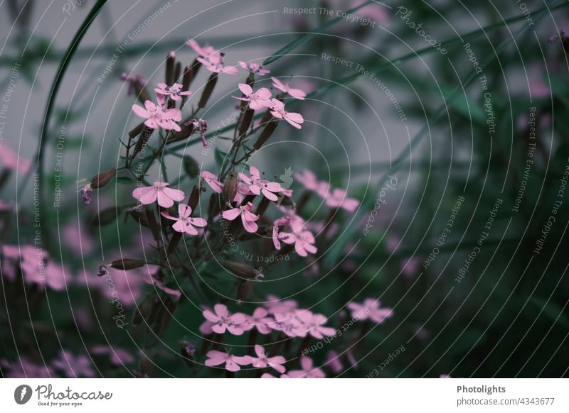 Delicate pink wildflowers by the wayside Pink plants blossoms Blossom Nature naturally Spring Flower blurriness blurred Blossoming Plant Colour photo Close-up