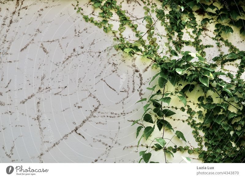 Self-climbing maidenhair vine, wild vine on an old house wall. Green shoots and remnants of old adhesive discs share the picture. Self-climbing maiden vine