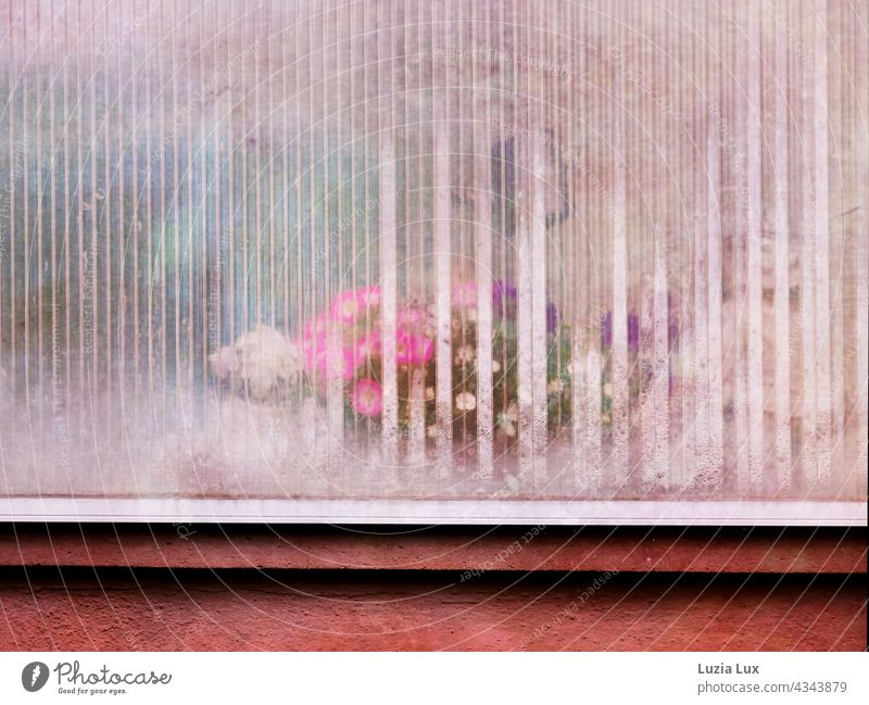 Colorful flowers behind milky balcony glazing and condensation Balcony blossoms Delicate Translucent variegated Pink White purple pink Old fashioned clearer