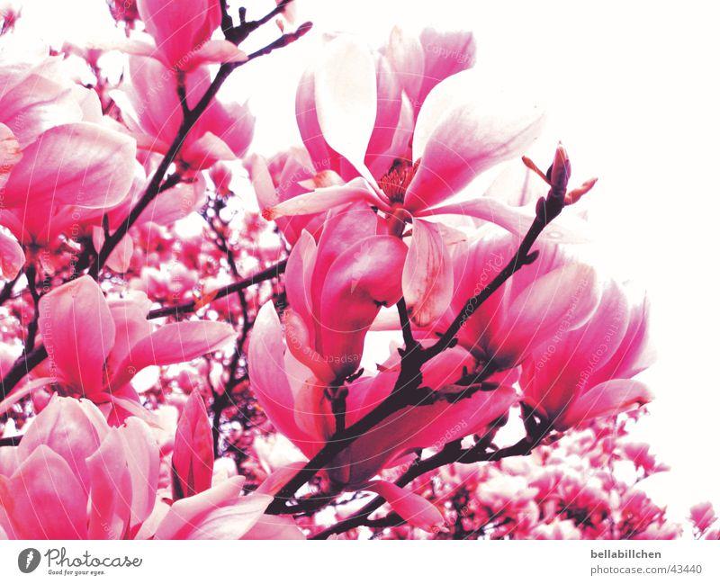 pinkflowers Pink Blossom Tree Spring