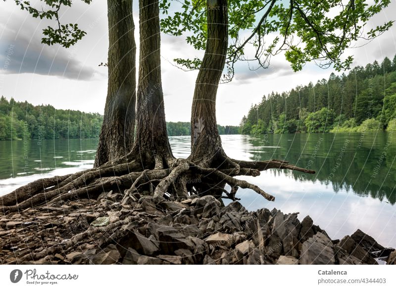 Roots of the beeches on the lakeshore Nature Lake Water level River dam Plant Tree Beech tree leaves bank Deluge Flood Forest reflection roots Sky Clouds