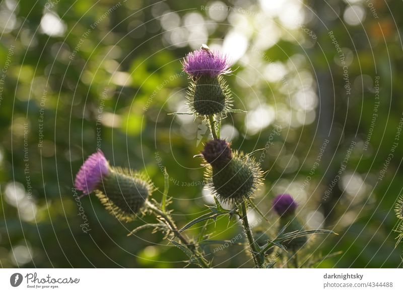 Thistle plant with young flowers or buds in the warm light of the low sun, Cirsium Sun Blossom thistle Cirsium flodmanii Thorny Colour photo Green Close-up