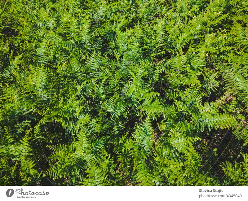 Green leaves of fern fronds. Background of wild green fern blooming in Summer. Top view horizontal outdoors copy space pattern background scenic organic trail