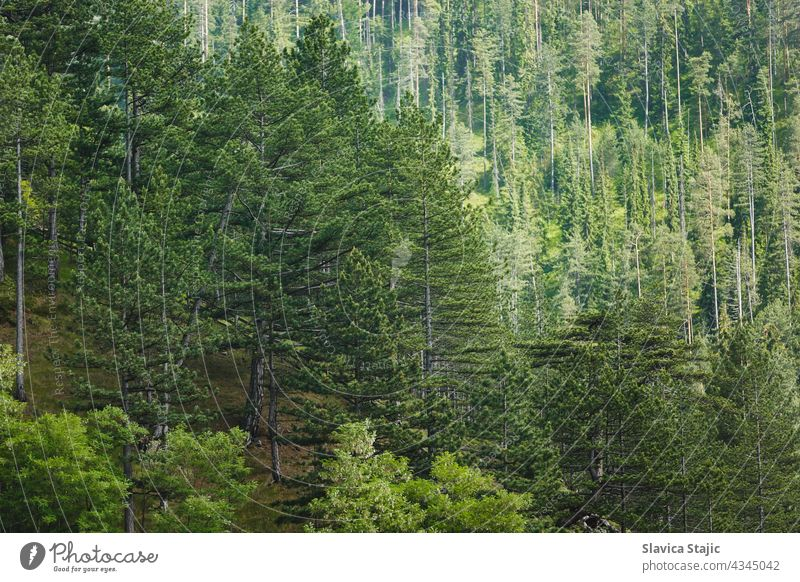 Pine Tree Forest In Summer. Beautiful  Pine Forest On High Mountains, selective focus Green pine forest Exterior shot Day Wood Growth Natural Nature Plant