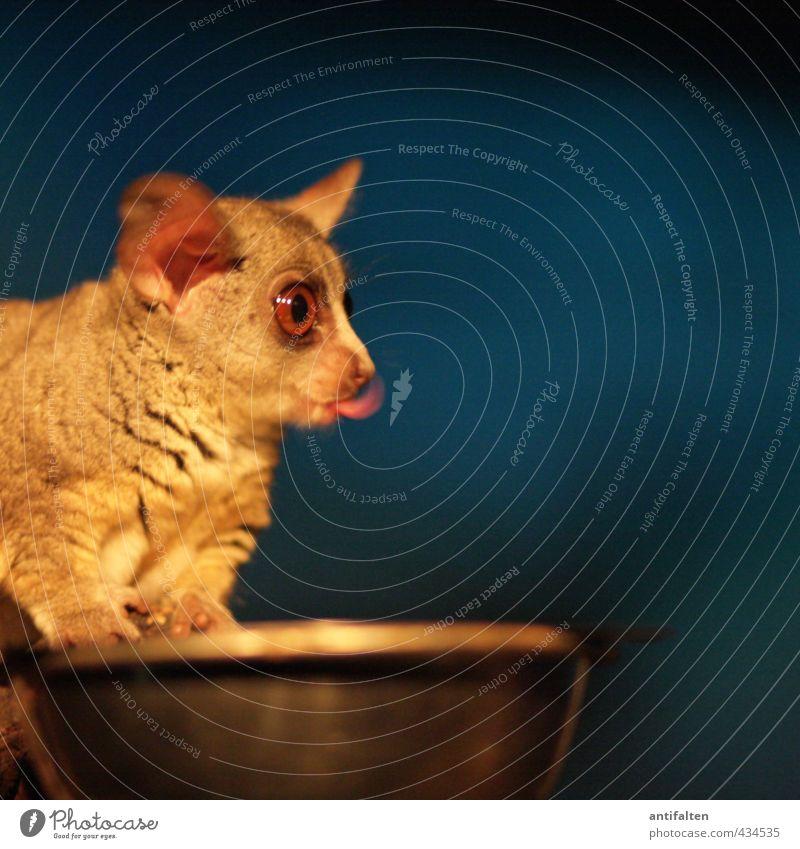 galago Animal Wild animal Animal face Pelt Claw Zoo night animal Eyes Tongue Ear 1 Bowl Food bowl Metal Steel Observe Eating Exceptional Dark Fantastic Funny