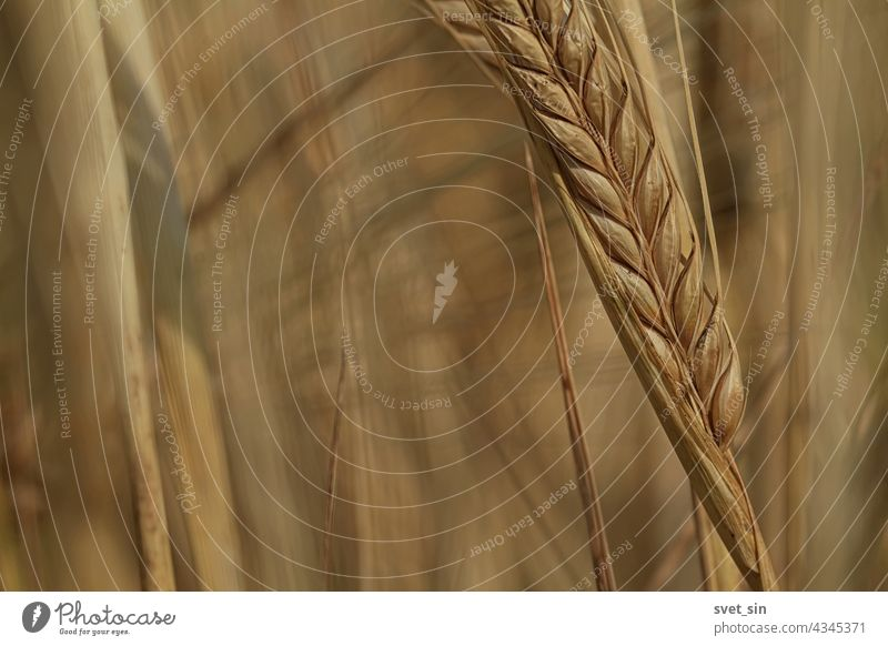 A golden yellow ear of barley close-up in a field on a sunny day. Barley harvest. Ripe golden ear of barley close-up outdoors. Copy space. grain light