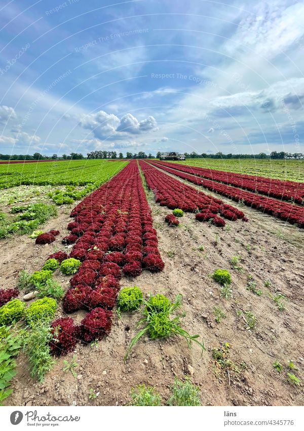 Lettuce Growing Salad cultivation food products Agriculture Food Green Field Vegetarian diet Nutrition Plant Fresh Healthy Eating Vegetable Colour photo