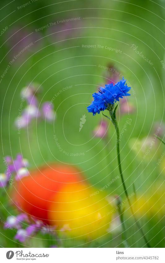 Cornflowers blue Flower Blue Plant Summer Blossoming Environment naturally Exterior shot Deserted Flower meadow Wild plant