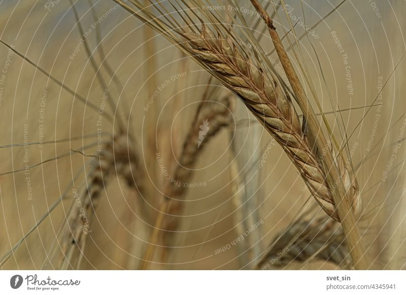 Ripe golden ears of barley bent under their own weight. Ear of barley close-up in sunlight outdoors. Barley field on a sunny summer day. yellow grain harvest