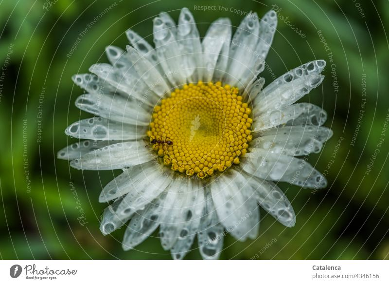 After days of rain the petals of the Margarete appear more and more transparent Yellow Green White daylight Day fade blossom fragrances Meadow flower margarite
