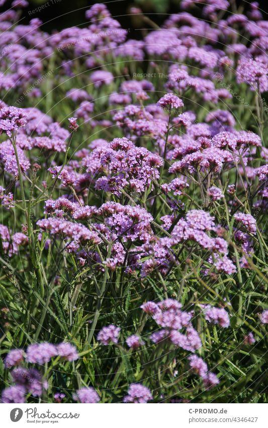verbena blossoms Garden Green purple Flower garden flower Nature