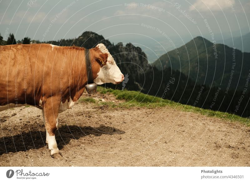 Side view of a cow with a bell. She stands on a mountain and looks into the valley Cow Bell Willow tree Valley Rock Meadow off Mountain Nature Landscape Summer