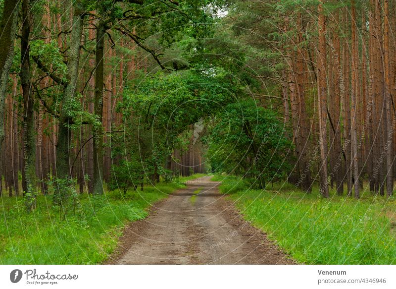 Sand forest road in a pine forest, isolated oak trees along the way Forest path woods grass branch branches nature lumbering lumber industry timber industry