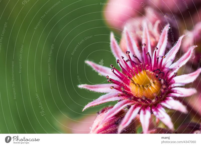 Flower of the Sempervivum. Or simply a succulent commonly called houseleek. Succulent plants Macro (Extreme close-up) Plant Growth Leaf medicinal plant