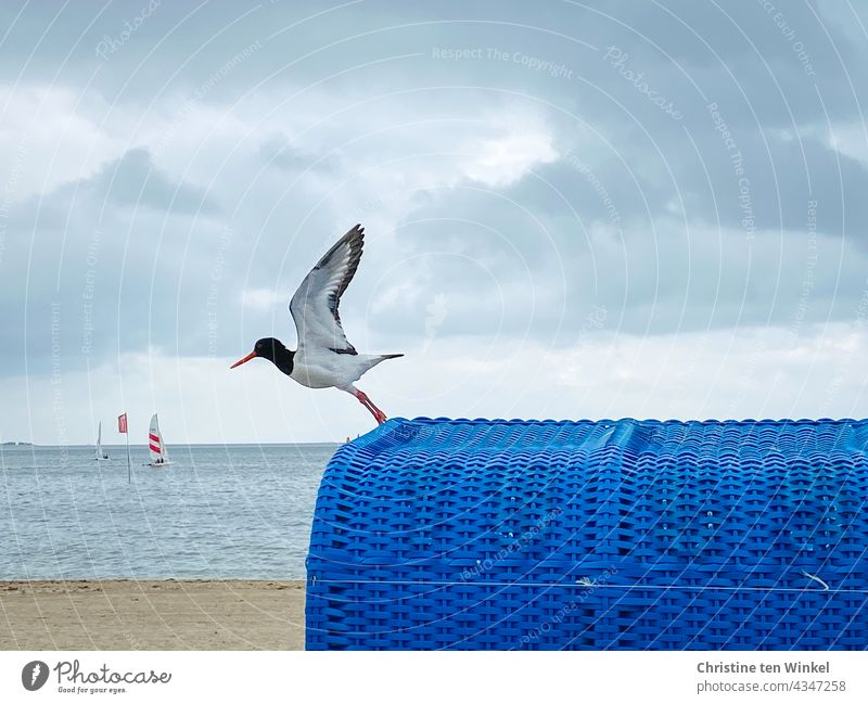 Oystercatcher takes off from a blue beach chair on the North Sea beach Oyster catcher Flying take off Departure Beach chair North Sea Islands Water Ocean Clouds