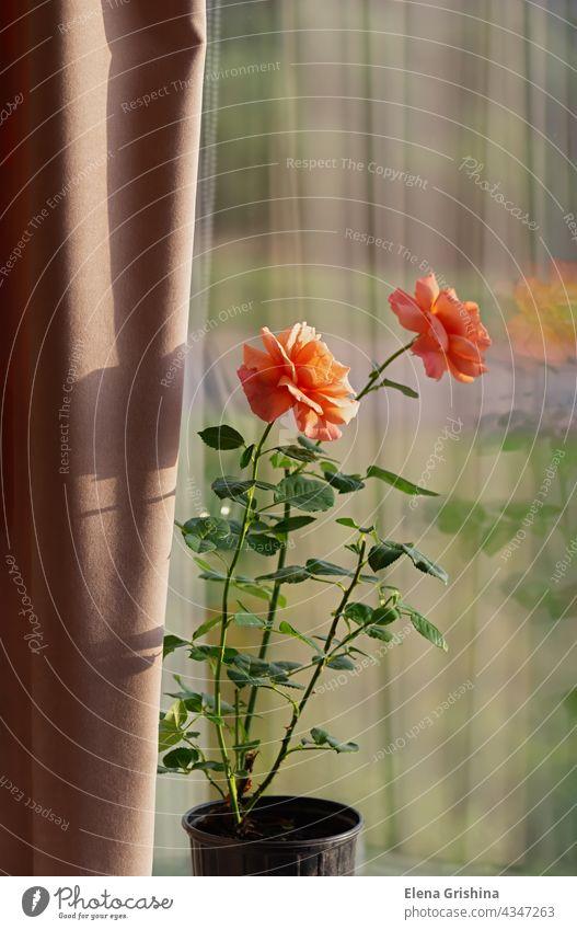 Growing roses indoors. Blooming rose in a flowerpot on the windowsill. Floribunda Rose Easy Does it. rose flower bloom floribunda easy does it fabric beige
