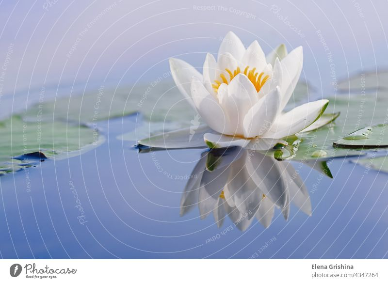 Beautiful flower of a white water lily and reflection on the water surface. Nymphaea alba. Close up. waterlily zen aquatic plant nymphaea bloom pond summer lake