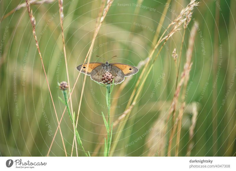Butterfly, large meadow bird Coenonympha tullia sitting on a scabious bellflower C. tullia Large Heath huge meadow birds Knapweed bud Meadow Nature Reine free