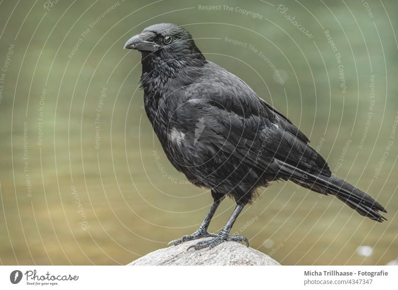 Crow on the lakeshore Black Crow Corvus corone Carrion crow raven Head Beak Eyes plumage feathers Grand piano Legs Claw Stone Lake Lakeside Water Looking