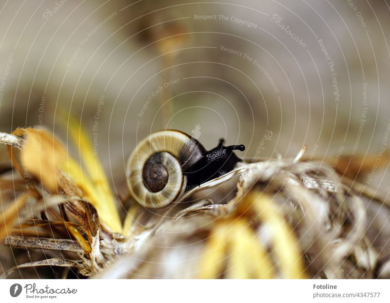 A North Tyrolean rock snail proudly presents its beautiful snail shell Crumpet Snail shell Animal Nature Close-up Exterior shot Colour photo Feeler Slowly Slimy