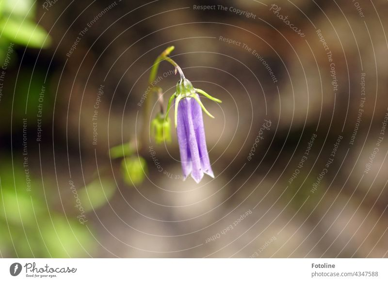 In the Tyrolean mountains, on a grey, bare rock, shone this beautiful, delicate bellflower Bluebell Flower Nature Plant Blossom Colour photo Summer Deserted Day