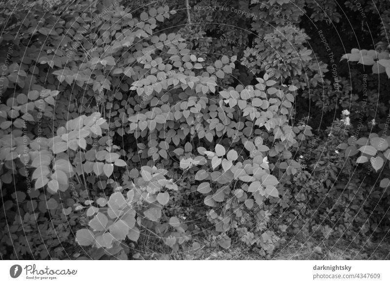 leaves roof of Japanese knotweed, Fallopia japonica with beautiful tonal values River bank Water riverbank WaterRiverfront Nature Green Summer Day Exterior shot